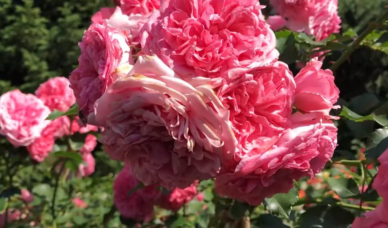 Алнвик роуз