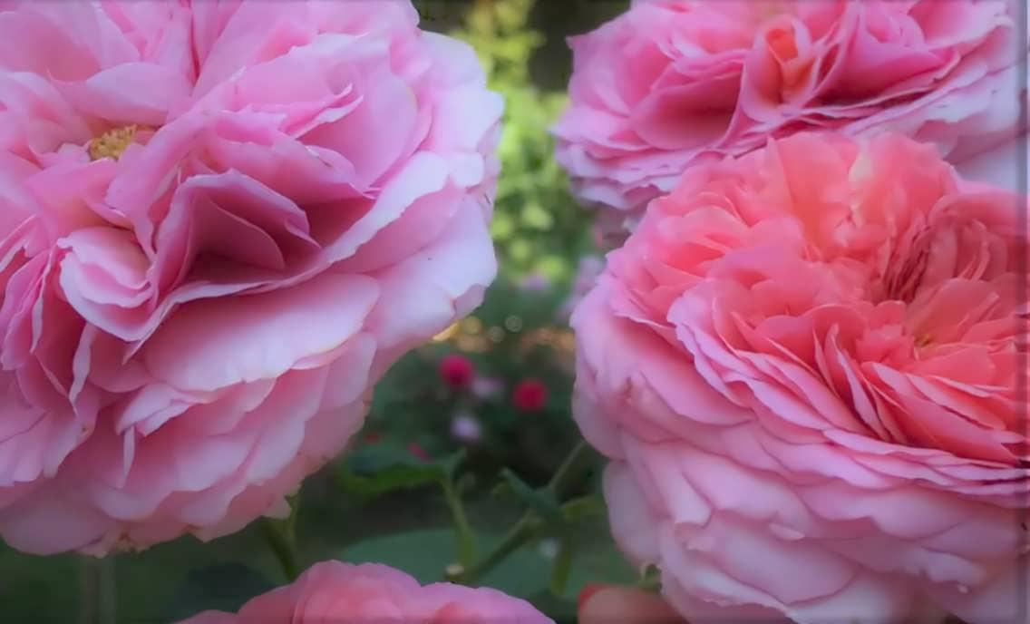Мери роза
