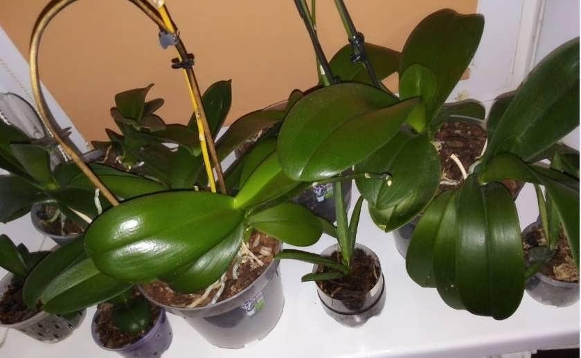 орхидеи до цветения