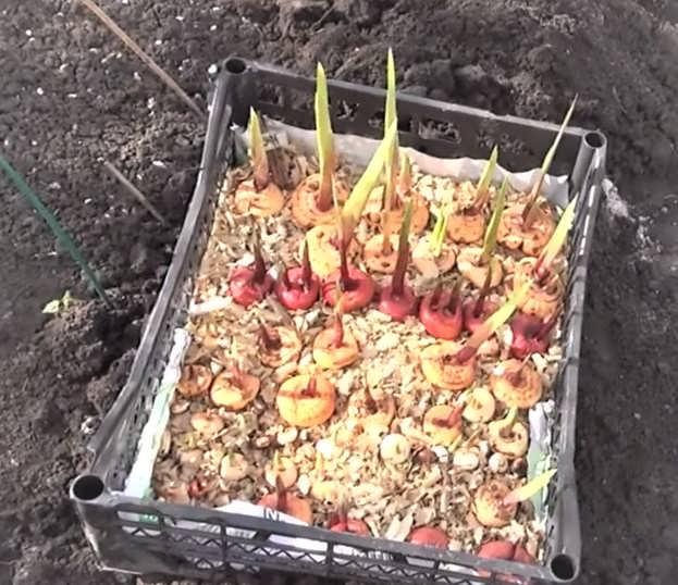 пророщенные луковицы гладиолуса