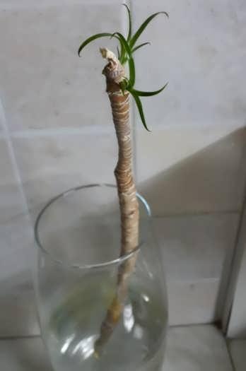 Проросший Триколор макушка