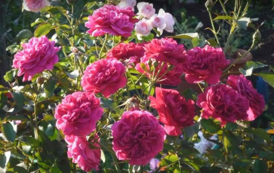 Декор роуз