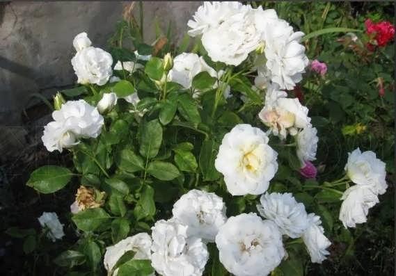 Роза Хрусталь пэлас
