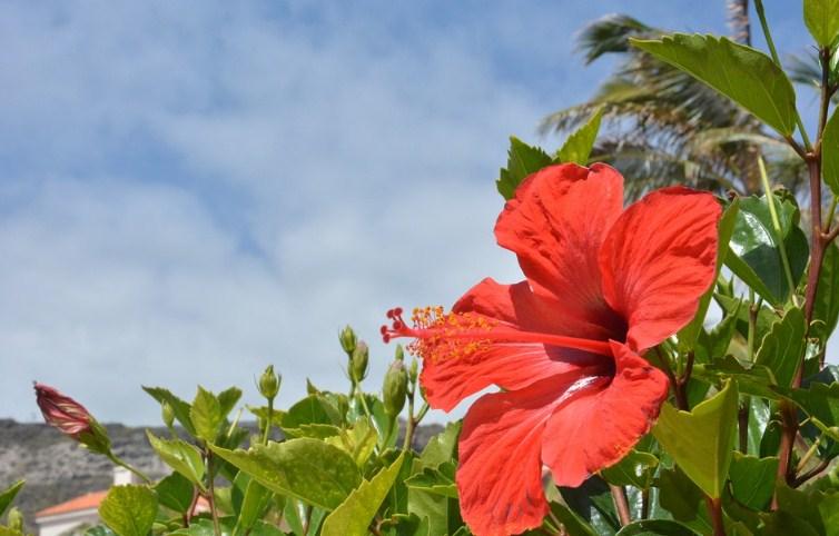 гибискус тропический китайская роза