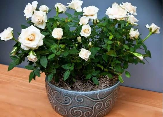 Розы в горшках