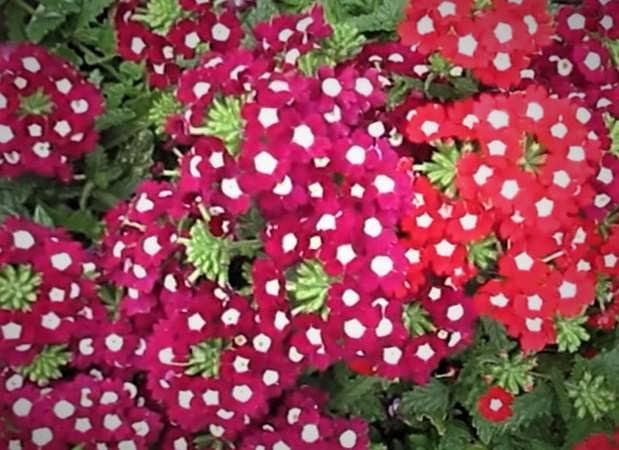 цветы вербены